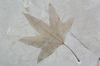 "5.5"" Fossil Sycamore (Platanus) Leaf - Green River Formation For Sale, #92867"