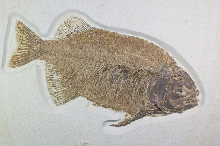 "15"" Fossil Fish (Phareodus) - Top Quality Specimen"