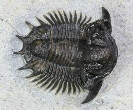 ".75"" Bumpy Acanthopyge (Lobopyge) Trilobite  For Sale, #92942"