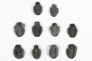 "Wholesale Lot: 1/2"" Elrathia Trilobite Molt Fossils - 10 Pieces For Sale, #92000"