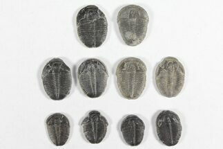 Elrathia kingii  - Fossils For Sale - #92013