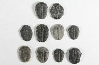 "Buy Wholesale Lot: 3/4"" Elrathia Trilobites - 10 Pieces - #92029"