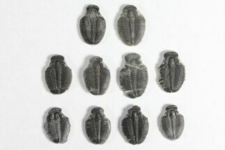 "Buy Wholesale Lot: 3/4"" Elrathia Trilobite Molt Fossils - 10 Pieces - #92041"