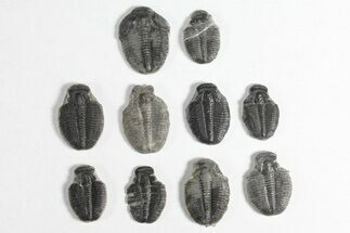 "Buy Wholesale Lot: 3/4"" Elrathia Trilobite Molt Fossils - 10 Pieces - #92044"