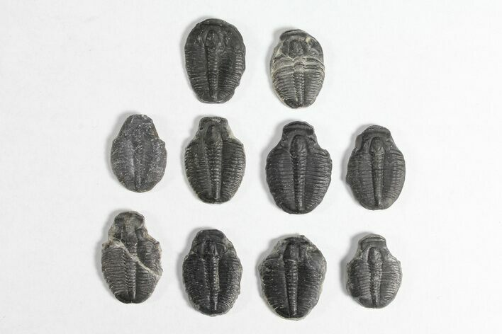 "Lot: 3/4"" Elrathia Trilobite Molt Fossils - 10 Pieces"