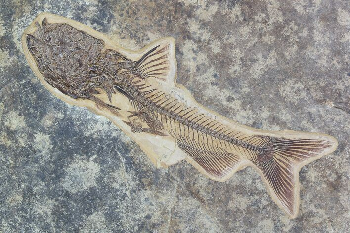"Rare, 9.5"" Fossil Catfish (Site Closed) - Green River Formation"