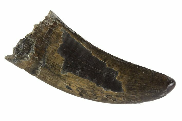 "Serrated, 2.26"" Tyrannosaur Tooth - Judith River Formation, Montana"