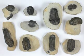 Wholesale Lot: Assorted Devonian Trilobites - 10 Pieces For Sale, #92165