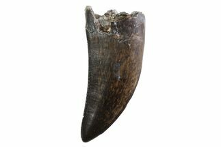 "Serrated, 1.67"" Tyrannosaur Tooth - Judith River Formation, Montana For Sale, #93734"