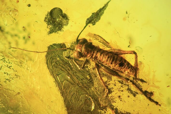Fossil Bush Cricket & Fly In Baltic Amber - Rare!
