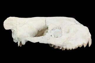"6.9"" Oreodont (Merycoidodon) Partial Skull - Wyoming For Sale, #93755"