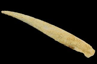 "4.1"" Cretaceous Shark (Hybodus) Dorsal Spine - Morocco For Sale, #93929"