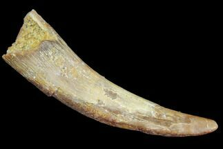 "1.65"" Pterosaur (Coloborhynchus) Tooth - Morocco For Sale, #94127"