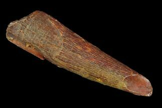 "1.22"" Pterosaur (Coloborhynchus) Tooth - Morocco For Sale, #94142"