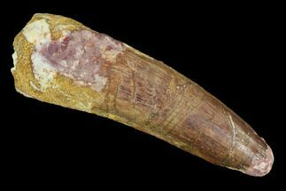 "2.48"" Spinosaurus Tooth - Real Dinosaur Tooth For Sale, #94217"