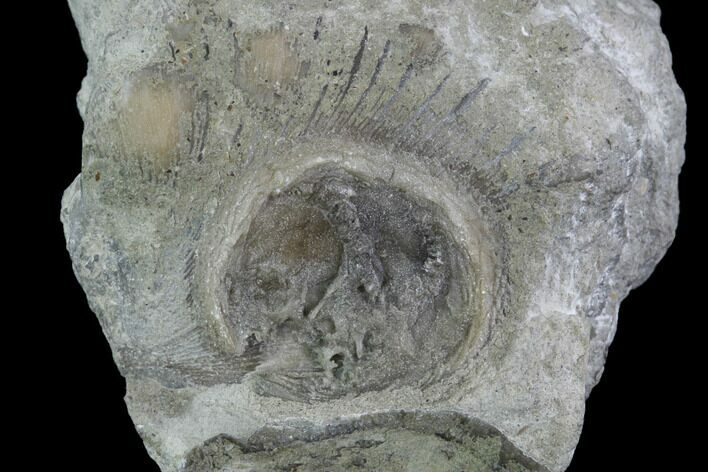 ".6"" Edrioasteroid (Isorophus) On Brachiopod - Fairfield, Ohio"