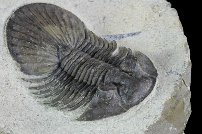 "1.8"" Scabriscutellum Trilobite Fossil - Tiny Eye Facets"