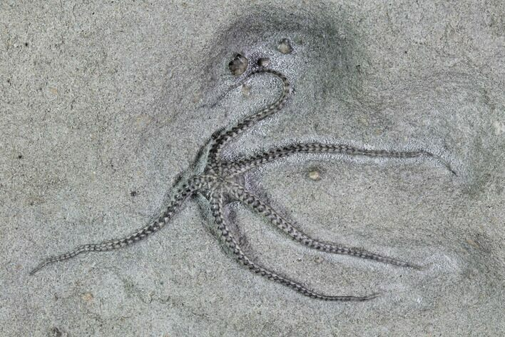"Beautiful, 1.8"" Jurassic Brittle Star (Palaeocoma) - Lyme Regis"
