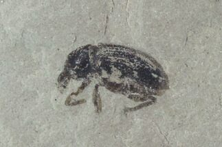 ".28"" Fossil Weevil (AKA Snout Beetle) - Green River Formation, Utah For Sale, #94940"
