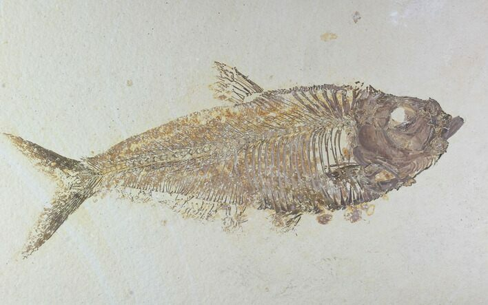 "9.8"" Beautiful, Diplomystus Fossil Fish - Wyoming"