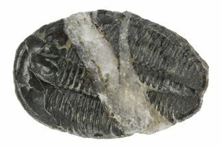 "Buy 1.5"" Elrathia Trilobite Fossil With Calcite Seam - #96043"