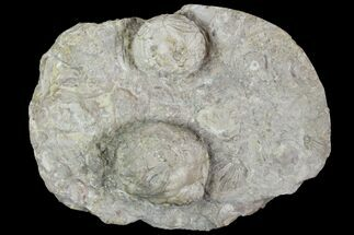 Buy Two Devonian Cystoid Fossils (Strobilocystites) - Iowa - #95821
