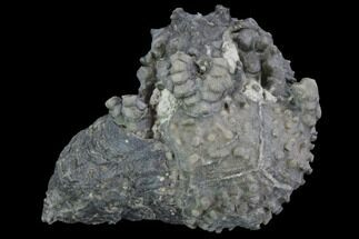 Buy Platycrinites Crinoid Fossil With Gastropod - Crawfordsville, Indiana - #94753