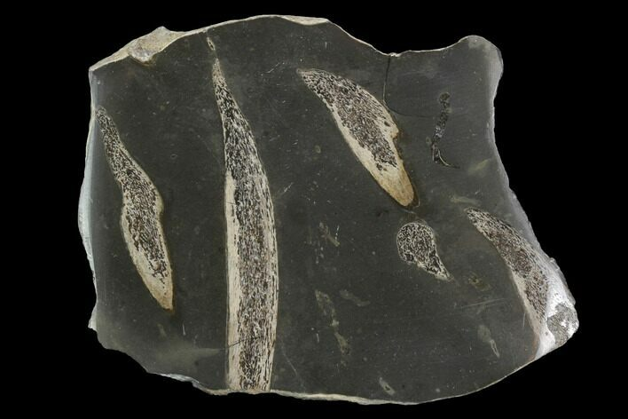 Jurassic Marine Reptile Bone In Cross-Section - Whitby, England