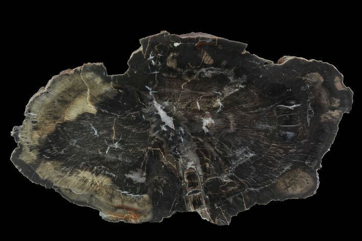 "15.2"" Polished Petrified Wood (Woodworthia) Section - Arizona"