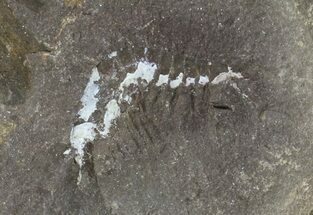 ".8"" Pennsylvanian Fossil Shrimp (Pos/Neg) - Mazon Creek For Sale, #70622"
