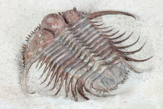 "1.45"" Spiny Cyphaspides Trilobite - Jorf, Morocco For Sale, #96827"