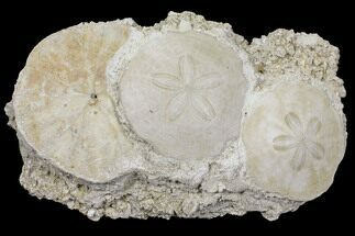 Scutella faujasii - Fossils For Sale - #97236