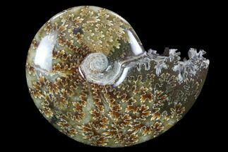 "3.3""  Polished, Agatized Ammonite (Cleoniceras) - Madagascar For Sale, #97238"