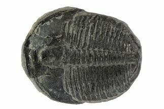 Elrathia kingii - Fossils For Sale - #97095