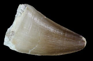 "Buy 1.55"" Mosasaur (Prognathodon) Tooth - #96796"