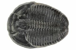 Elrathia kingii - Fossils For Sale - #97068