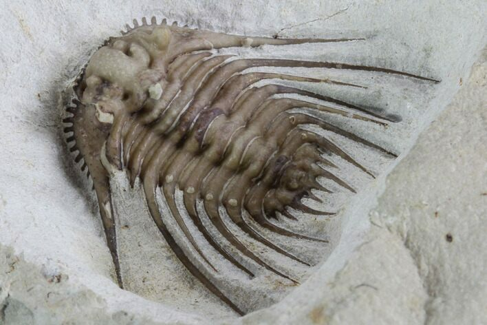 "1.15"" Kettneraspis Trilobite - Black Cat Mountain, Oklahoma"