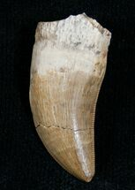 "Well Preserved 1.11"" Albertosaurus Tooth - Montana For Sale, #6947"