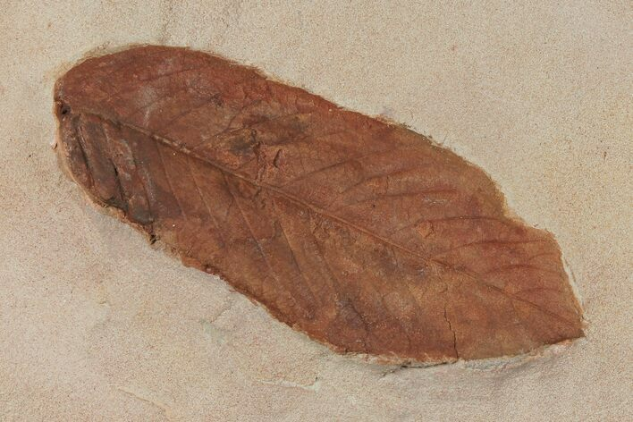 "3.8"" Red Fossil Leaf (Fraxinus) - Montana"
