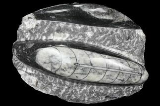 Buy Polished Orthoceras (Cephalopod) Fossils - Morocco - #96640