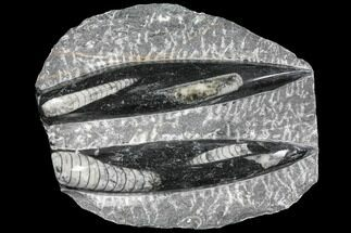 Arionoceratid Nautiloid - Fossils For Sale - #96615