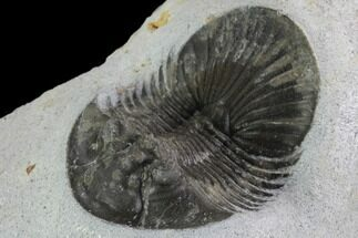 "1.8"" Scabriscutellum Trilobite - Morocco For Sale, #98591"