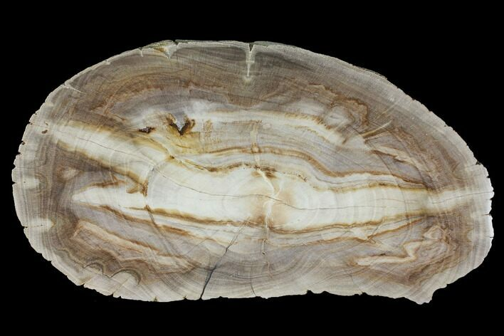 "8.6"" Polished Petrified Wood (Dicot) Slab - Texas"