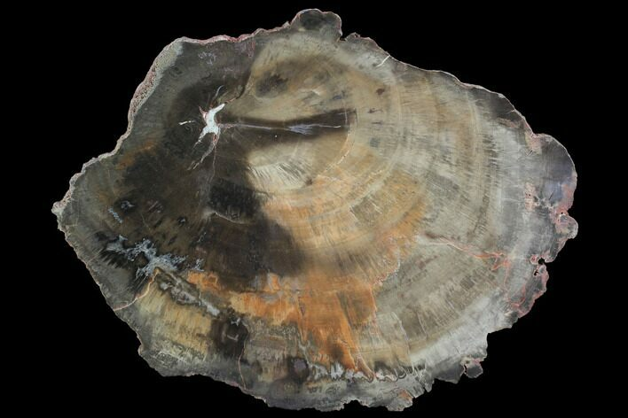 "11.3"" Polished Petrified Wood (Woodworthia) Section - Arizona"