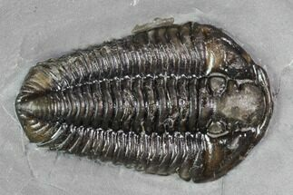 "1.4"" Calymene Niagarensis Trilobite - New York For Sale, #99011"