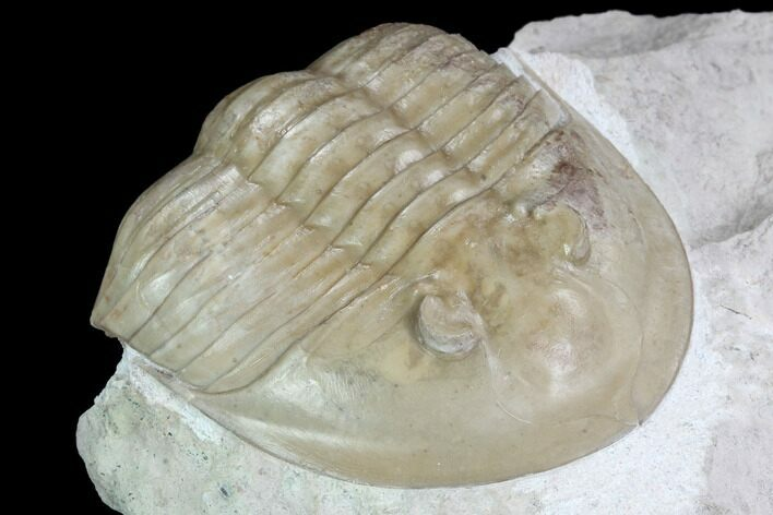 "3"" Ptychopyge Trilobite From Russia - Scarce Species"