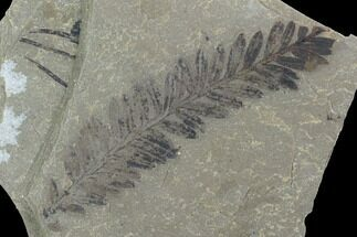 Metasequoia Fossil - Cache Creek, BC For Sale, #99299