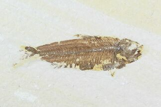 "Bargain, 3.2"" Fossil Fish (Knightia) - Wyoming For Sale, #99230"