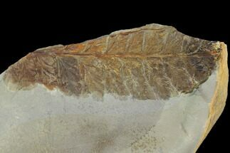 Dennstaedtia americana - Fossils For Sale - #99405