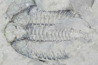 Dalmanites limulurus - Fossils For Sale - #99066